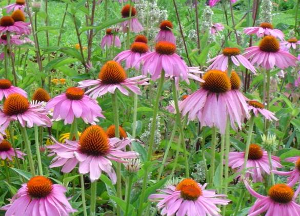 wholesale Echinacea Extract