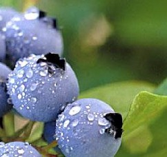 wholesale Blueberry Extract