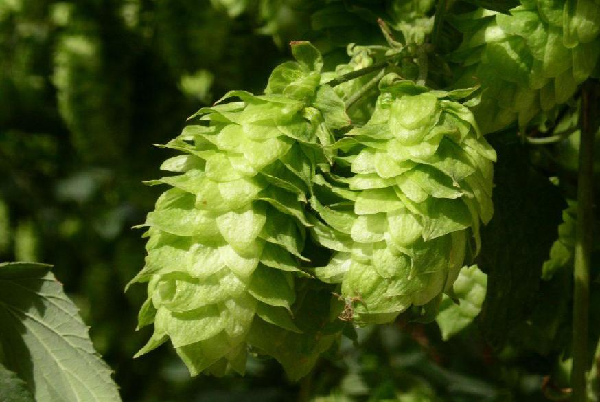 wholesale Hop Extract 10:1 Ratio