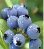 European Bilberry P.E.extract(Anthocyanidins 25%UV) of picture