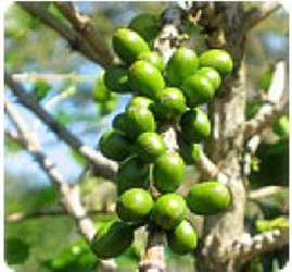 wholesale Green Coffee Bean P.E.extract 50% total acids