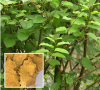 Giant Knotweed Extract 98% of picture