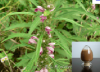Motherwort Herb Extract 10:1 of picture