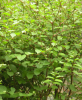 Giant Knotweed Rhizome P.E(99%Resveratrol) of picture