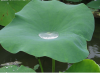 Lotus Leaf Extract 20:1 of picture