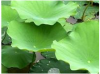 Lotus Leaf P.E 10:1 of picture