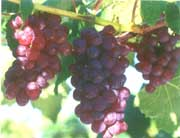 wholesale Grape Skin Extract 95%