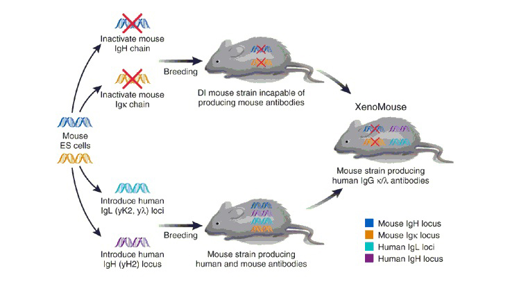 Wholesale Human Antibody Production From Transgenic Mice