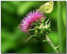 wholesale Milk Thistle Extract (Silymarin 40% HPLC water soluble)