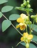 Cassia Occidentalis Extract Powder 5:1 of picture