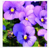 Viola Tricolor Extract Powder 5:1 of picture