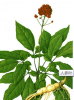 Panax Ginseng Root Extract Powder 5:1 of picture